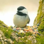 bird-chickadee_93022