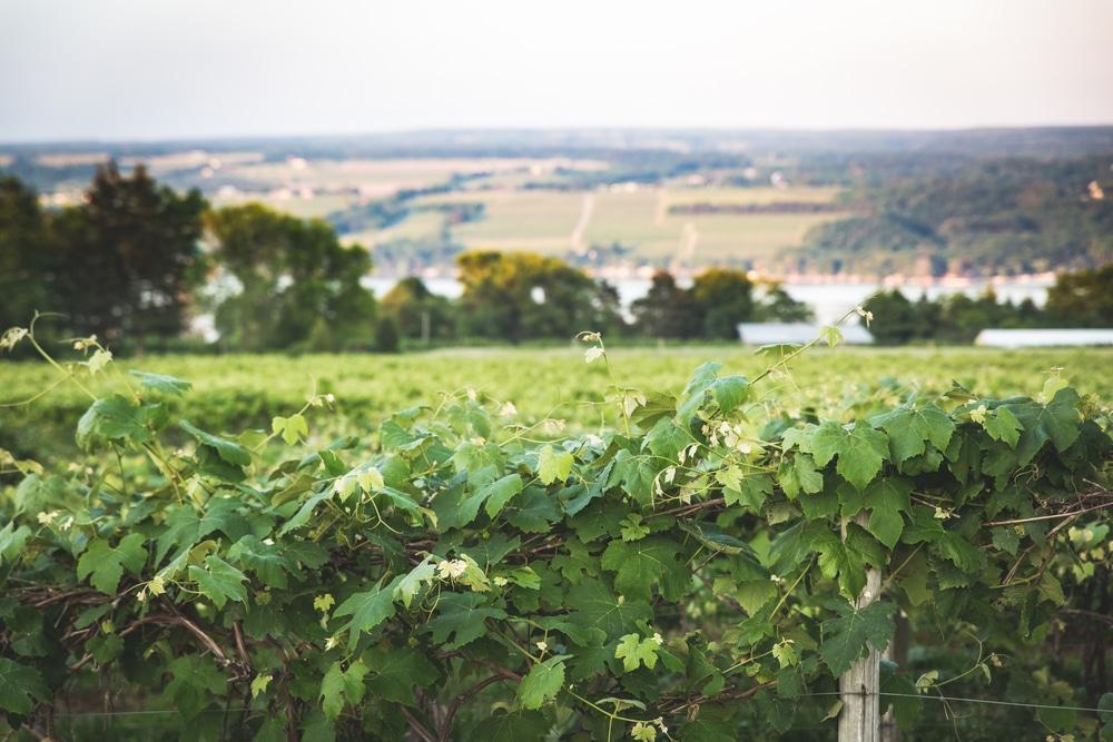 fox run winery